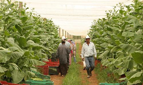 Выращивание и обработка табака в домашних условиях 41